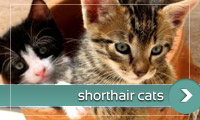 Shorthar Cats